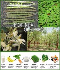 Moringa oleifera – known as mronge in Swahili and the Horse radish tree in English – is a fast growing, hot climate, small tree native to India, Malaysia and the Middle East that was introduced into East Africa in the early 1900's and is now naturalised in many areas. It is a very useful tree, easy to establish and adaptable to a wide range of sites in the hotter areas of East Africa being both drought tolerant and able to withstand temperatures up to 40º C. It is used as food for both human consumption and animal feed, produces oil from the seeds that can be sold, is very good bee forage, and is a useful medicine for treating skin ailments. It can be grown as a crop or used as an agroforestry tree as it assists in erosion control and has only light shade which is not detrimental to adjacent crops. The seeds also contain an ingredient in the kernel that will purify dirty water of both soil and bacterial contamination.